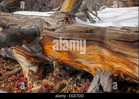 Fallen tree in winter - Stock Image