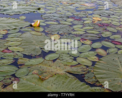 Quebec,Canada. Lily pad covered pond - Stock Image