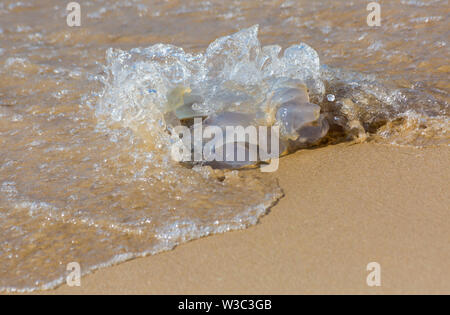 Bournemouth, Dorset UK. 14th July 2019. Pier to Pier swim where swimmers brave the English Channel swimming from Bournemouth to Boscombe piers in 1.4 mile open water challenge, raising funds for BHF, British Heart Foundation. Jellyfish being washed up on the seashore. Credit: Carolyn Jenkins/Alamy Live News - Stock Image