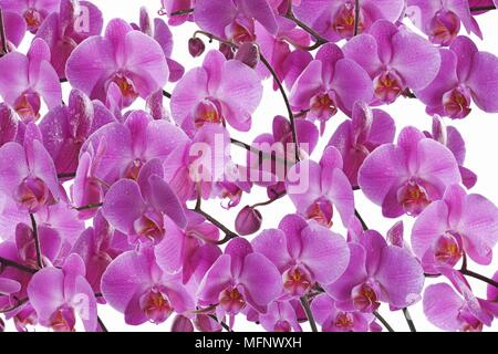 Pink Orchid. (Phalaenopsis) Vivid pink epiphytic orchid from the tropics. White background. Digital Composite. Studio shot.       Ref: CRB538_103609_0 - Stock Image