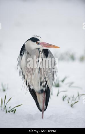 Grey Heron,(Ardea cinerea), standing in winter snow, Regents Park, London, United Kingdom - Stock Image