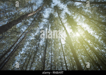 view from below of a red pine forest with a sunlight on a bright day. concept of nature background, holiday and tranquility - Stock Image