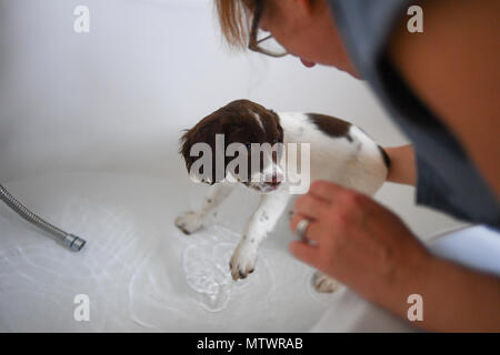 A 10 week old English springer spaniel puppy being washed in the bath for the first time. - Stock Image