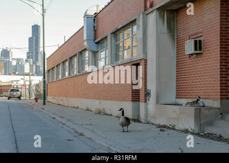 A male Canada goose stands guard near his nest in an industrial area on Chicago's Goose Island. - Stock Image