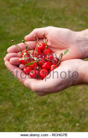 Person with a handful of red cherries - Stock Image
