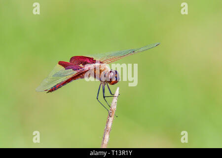 Red Saddlebags basking in the sun. - Stock Image