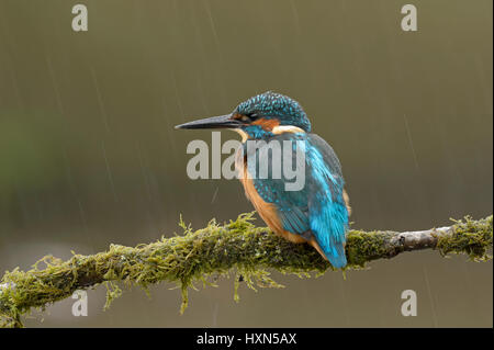 Common kingfisher (Alcedo atthis) adult female in rain shower. Worcestershire, England. September. - Stock Image