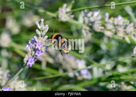 Bumblebee (bombus) in flight to collect nectar pollen from flowering lavender plants in late summer September - Stock Image
