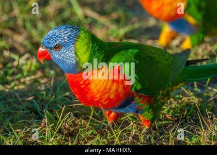 Rainbow Lorikeet, Queensland, Australia - Stock Image