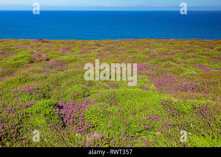 Purple heather in flower on the North Cornwall coast near St Agnes Head, and beside the South West Coast Path. - Stock Image