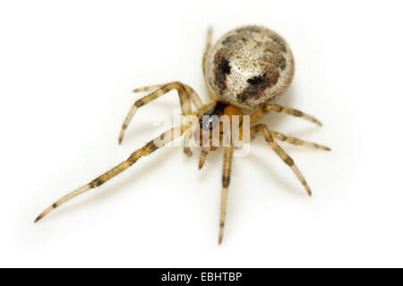 A female Missing sector orb weaver (Zygiella x-notata) on white background. The spider gets its name from making - Stock Image