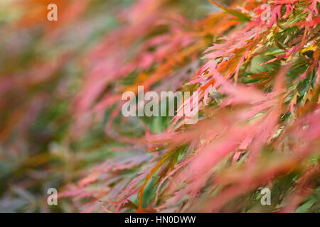 acer palmatum, cut-leaved japanese maple, autumn leaves changing colour, sunny day  Jane Ann Butler Photography - Stock Image