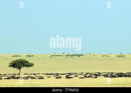 African Buffalo Herd (Syncerus caffer, aka Cape Buffalo) on the Savannah. Maasai Mara, Kenya - Stock Image