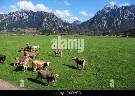 Castle Neuschwanstein, Cows on meadow, Ammergau Alps, Bavaria, Germany, Europe - Stock Image