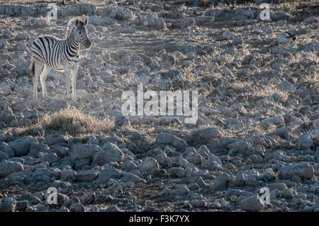 Burchell's Zebra, Equus burchellii, solitary Foal at the Okaukuejo waterhole, Ethosha, Namibia, Africa - Stock Image