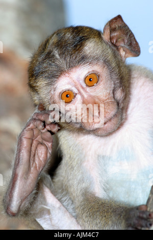Long tailed Macaques Macaca fascicularis also called crab eating monkeys or crab eating macaques Thailand - Stock Image