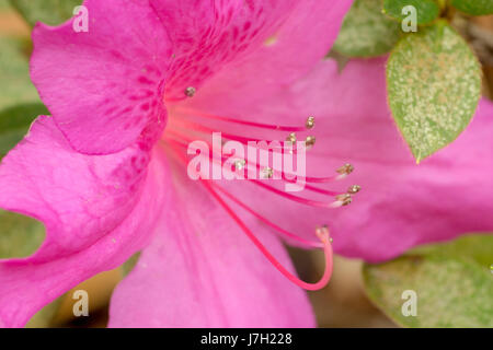 Bright pink flower - Stock Image