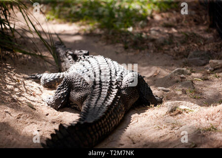Rear view  of a  large Crocodile  at Hartley's Crocodile Adventures, Captain Cook Highway, Wangetti, Queensland, Australia. - Stock Image