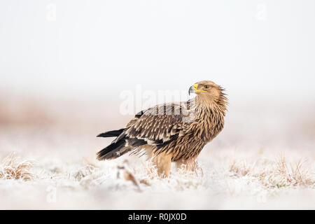 Eastern Imperial Eagle (Aquila heliaca) in snow, Hungary - Stock Image
