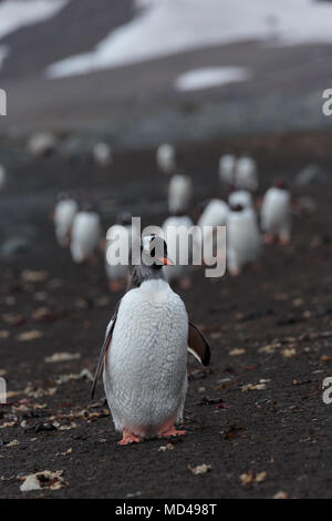 One penguin leads a long procession along a black volcanic sand beach on the Antarctic Peninsula - Stock Image