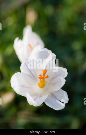An overhead closeup view of a Spring blooming White Crocus. - Stock Image