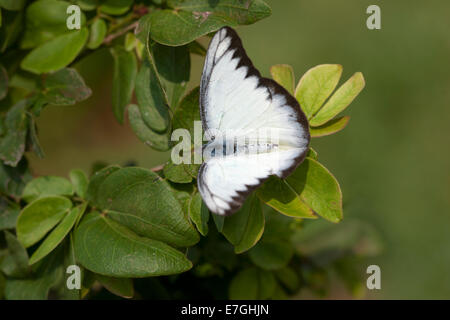 White and black coloured butterfly - Stock Image