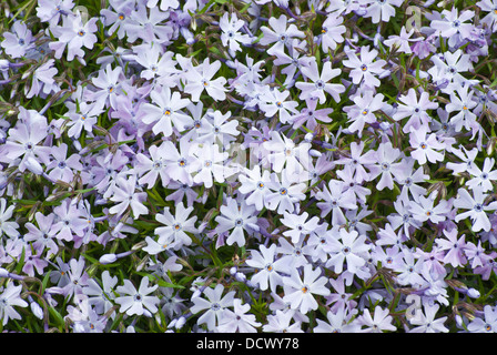 Moss Phlox - Phlox subulata - Stock Image