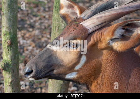 Portrait of a biesbok antelope or Tsessebe, Damaliscus - Stock Image
