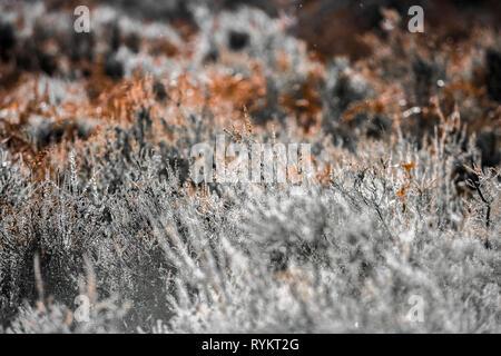 Eurasian Heath, a plant on moorland and heathland. - Stock Image