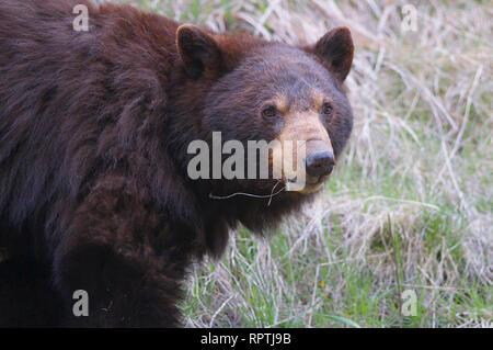 American black bear (Ursus americnus) facing the camera in Manning Provincial Park, British Columbia, Canada - Stock Image
