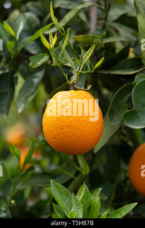 Orange citrus fruit plantations on Peloponnese, Greece, new harvest of sweet juicy oranges - Stock Image