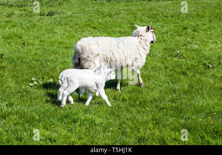 Ewe and Lambs near Staveley Lake District Cumbria. Mum is making sure the lambs stay close to her as I photograph them. - Stock Image