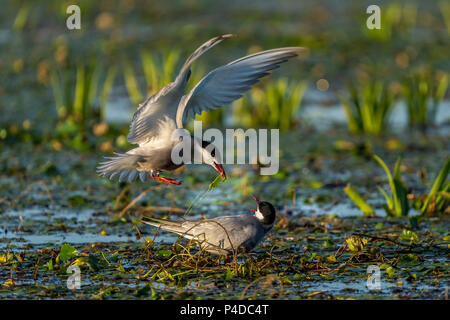 White Cheeked Tern male bringing a nest branch to the female tern sitting in the nest in Danube Delta - Stock Image