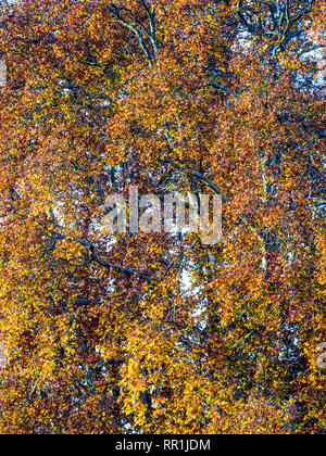 Autumn foliage on Plane - Platanus - trees, France. - Stock Image