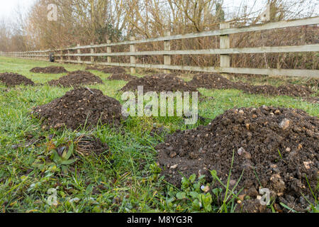 Damage caused to grass by moles, showing molehills in the English countryside garden - Stock Image