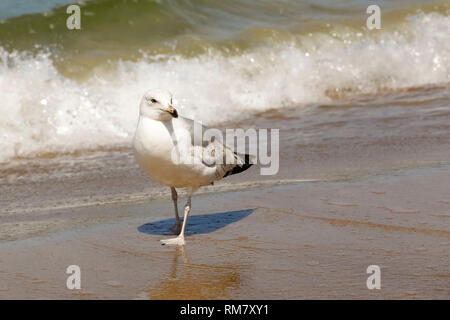 The seagull turned its head away from the approaching sea wave. It was observed in Kolobrzeg, Poland. - Stock Image