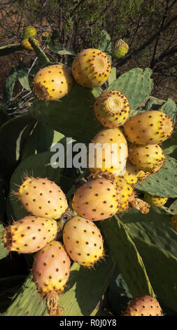 Close-up shot of prickly pear or cactus fruit of Opuntia ficus-indica a common cactus growing naturally in the dry, arid soil of Tenerife - Stock Image