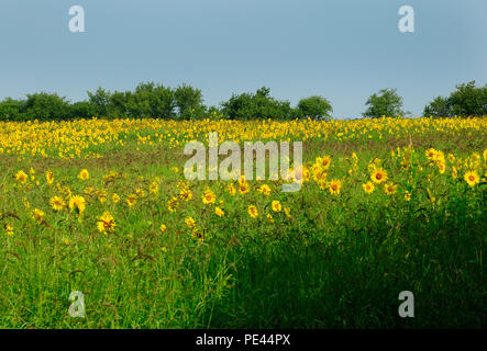 Country field of Sunflowers blooming. - Stock Image