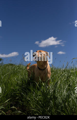 Dog Standing in Tall Grass with blue sky - Stock Image
