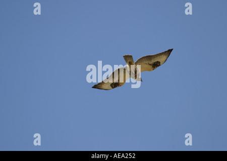 Rough legged buzzard Buteo lagopus flying over head during autumn migration in Scandinavia - Stock Image