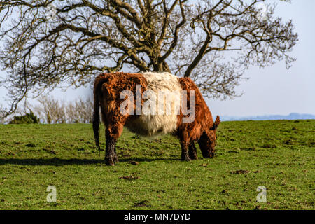 Red belted Galloway cow, Arnside, UK. 2018. - Stock Image