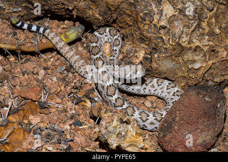 A juvenile Western Diamondback rattlesnake (Crotalus atrox) hunting in the Sonoran Desert. At this age, the snake has only a 'button' on its tail that - Stock Image