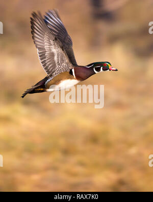 Wood duck flying - Stock Image