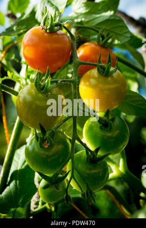 Red, yellow and green cherry tomatoes in the garden - Stock Image