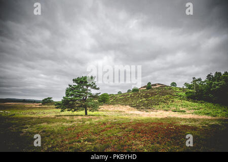 Lonely tree on dry plains with heather plants in cloudy weather - Stock Image