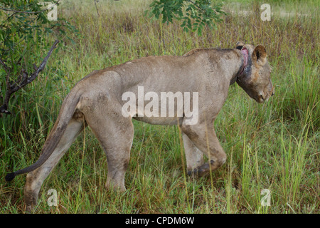 African Lion Panthera leo with a poachers snare wire embeded in neck in Mikumi Game reserve . Southern Tanzania. - Stock Image