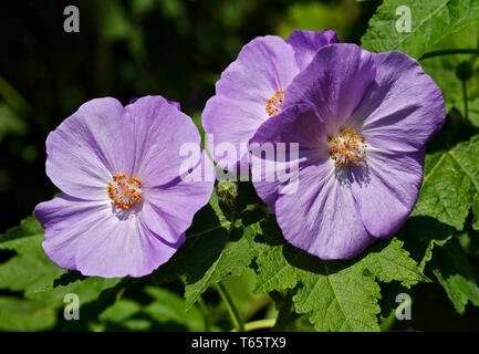 Purple Abutilon Suntense Jermyns (Flowering Maple) - Stock Image