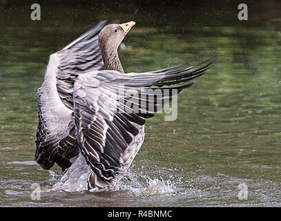 Graylag Goose flexing it`s wings after landing on a lake in the Staffordshire countryside England UK - Stock Image