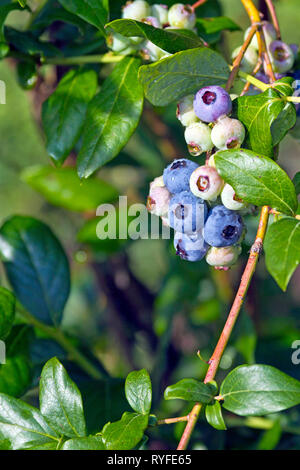 Clusters of colorful, ripening blueberries on a blueberry bush in early summer - Stock Image