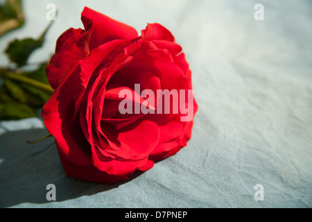 Fully open red rose lying on grey (gray) textured background. To left of frame, with space to the right. - Stock Image